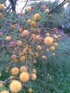 Acacia farnesiana (1)