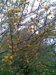 Acacia farnesiana (2)