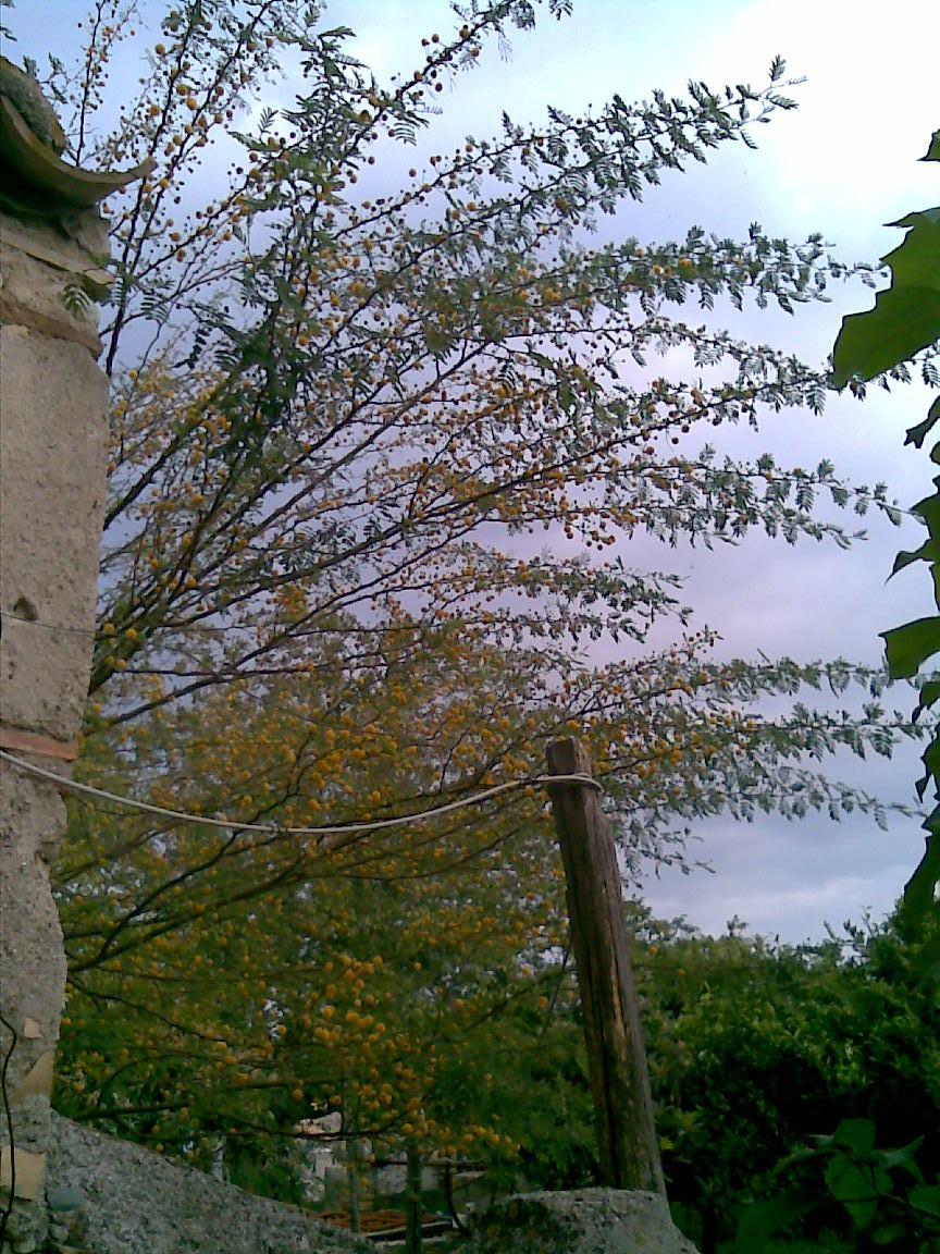 Myosotidum hortensia - Costruire giardino roccioso ...