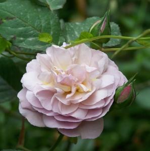 Rosa 'Florence Delattre'
