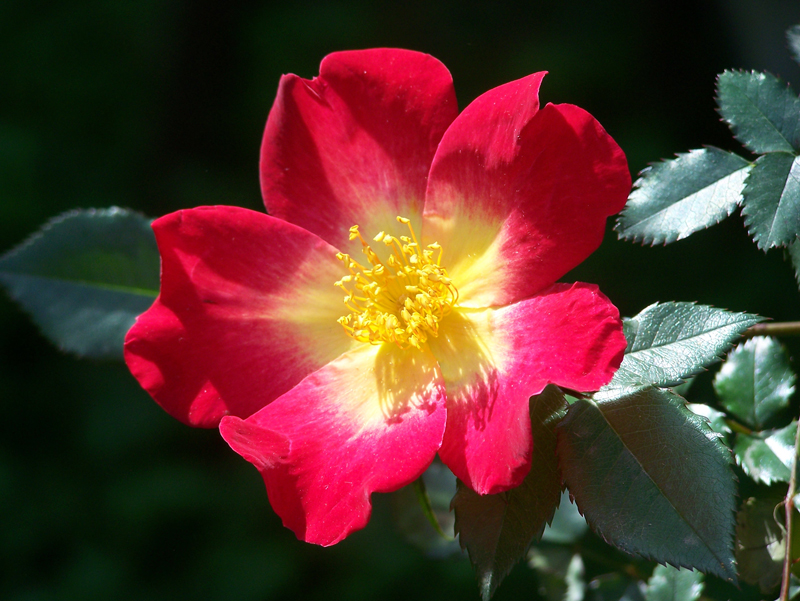 Fiori 5 Petali Rosa.Rosa Cocktail Giardinaggio Irregolare