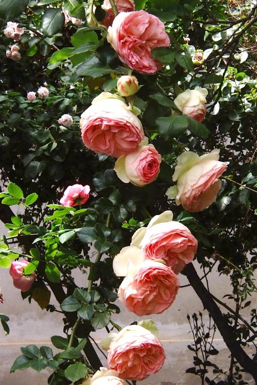 Rosa pierre de ronsard giardinaggio irregolare for Pierre de ronsard rosa