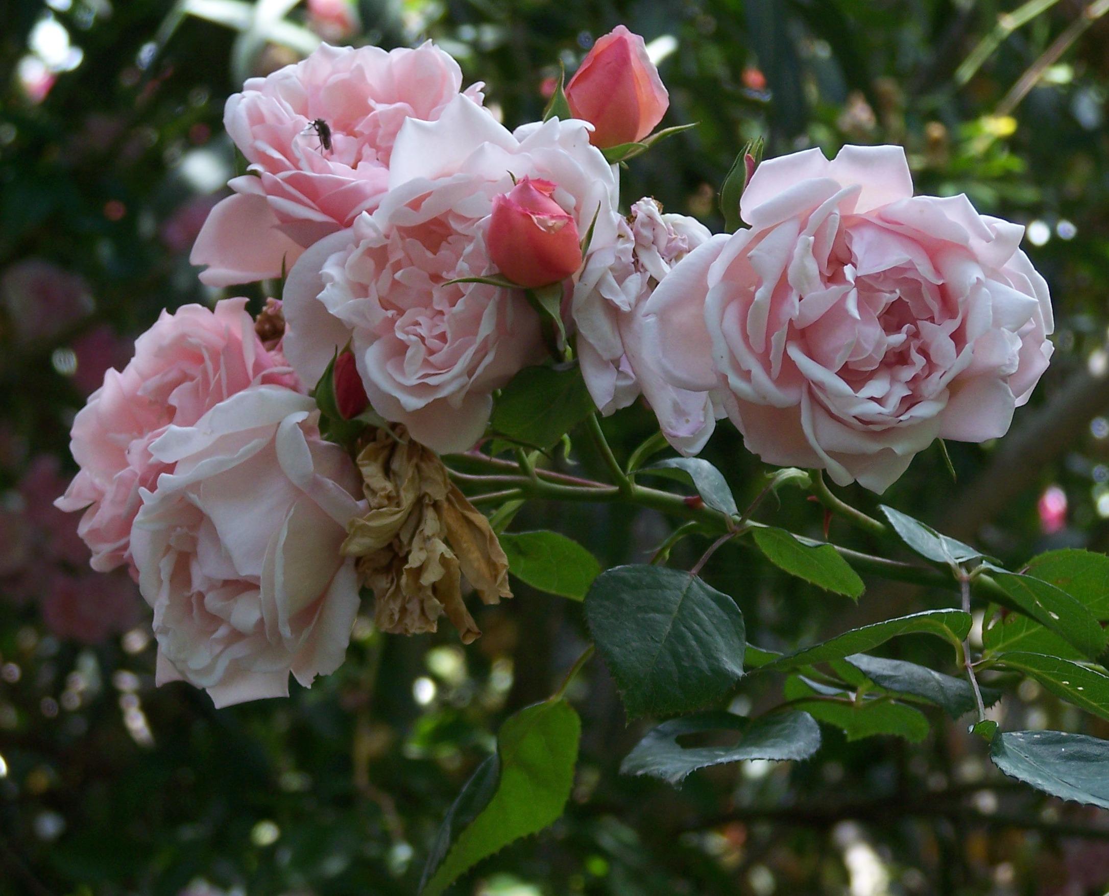 Rose Rampicanti Senza Spine e' morta albertine | giardinaggio irregolare