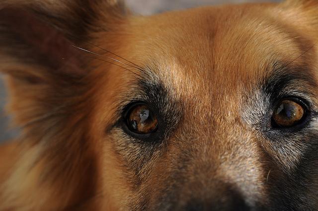 Gli occhi di un cane scppatore e ululatore, non fidatevi