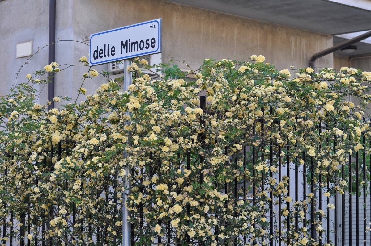 Rose Rampicanti Senza Spine rosa gialla senza spine | giardinaggio irregolare