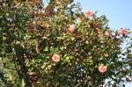 rosa orientale sconosciuta (1)