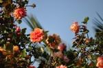 rosa orientale sconosciuta (10)