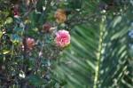 rosa orientale sconosciuta (11)