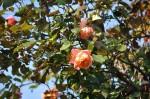 rosa orientale sconosciuta (2)