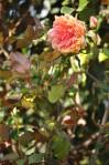 rosa orientale sconosciuta (3)