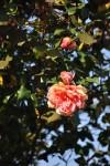 rosa orientale sconosciuta (5)