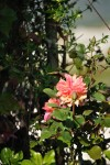 rosa orientale sconosciuta (6)