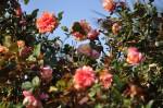 rosa orientale sconosciuta (7)