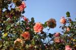 rosa orientale sconosciuta (8)