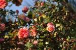 rosa orientale sconosciuta (9)
