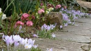 Le piccole e delicate fioriture tra le pietre erano una sua debolezza. Divenne bravissima nell'ottenere sentieri fioriti. Credits RHS