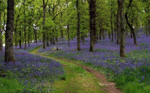 2nd-Bluebell-woods