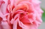 Rosa Aloha 12
