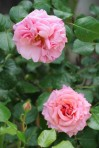 Rosa Aloha (3)
