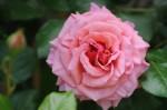 Rosa Aloha (4)