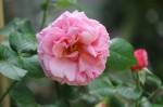 Rosa Aloha (5)