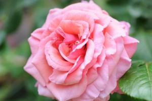 Rosa Aloha (7)