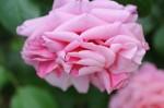Rosa Aloha (9)