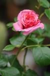 Rosa Aloha