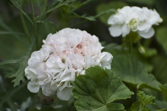 pelargonium zonale bianco white