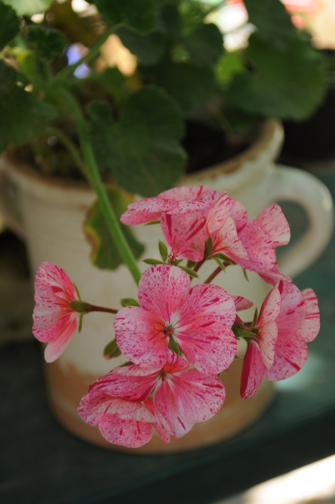 pelargonum zonale rosa venato bianco
