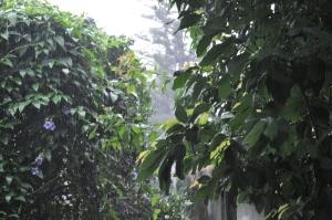 thunbergia sotto la pioggia 1