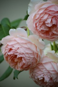 http://dyingofcute.tumblr.com/post/6031908923/william-morris-david-austin-old-english-rose