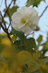 Hibiscus mutabilis 1