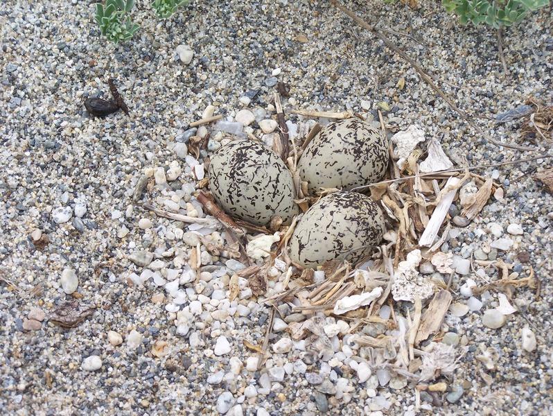 Uova di gabbiano roseo sulla pista ciclabile di Siderno